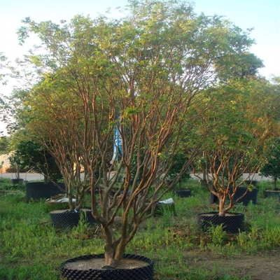 供应嘉宝果树(树葡萄)
