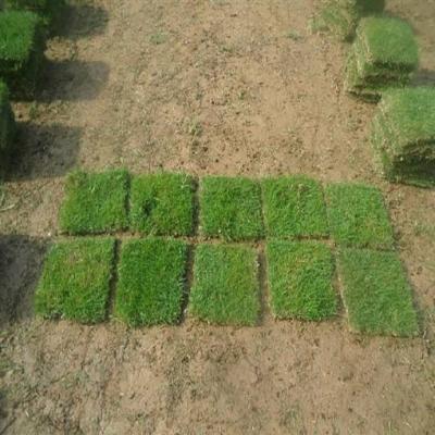 台湾草、草坪铺种